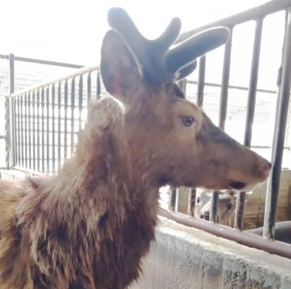 2020第一波的水鹿茸產季開始啦!三月活動資訊公告!