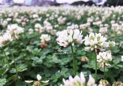 白花三葉草2